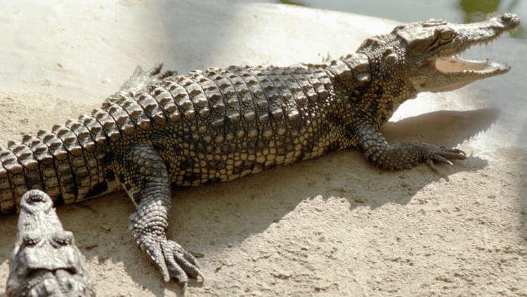تمساح كبير يلتهم آخر طوله 1.5 متر (فيديو)