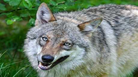 العلماء يتعقبون ذئب هرب من منطقة تشيرنوبل المحظورة