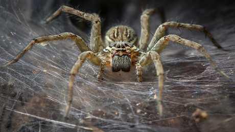 سم العناكب قد يعالج حالة مرضية نادرة يصعب علاجها!