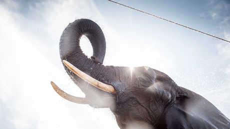 """""""جين زومبي"""" يحل لغز عدم إصابة الفيلة بالسرطان على الإطلاق"""