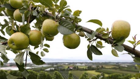 السويداء السورية تصدر عنبها وتفاحها إلى الأسواق الروسية
