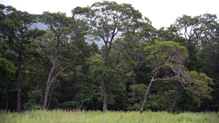 دراسة علمية تستهدف شجرة تفرز المعادن الثقيلة من جذوعها (صورة)