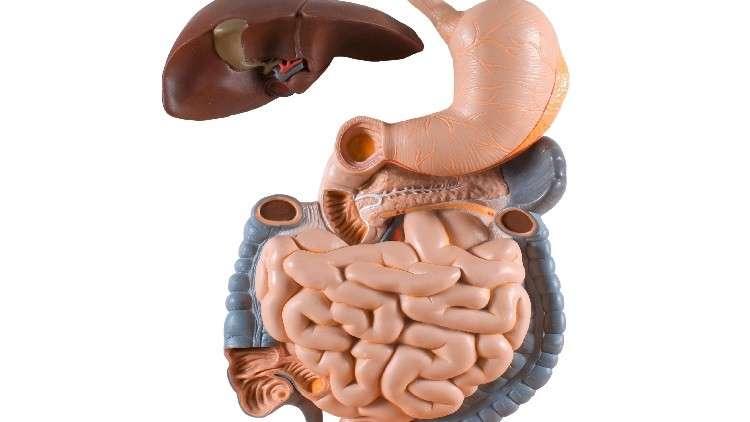 دراسة: الدماغ يرتبط مباشرة بالمعدة والأمعاء