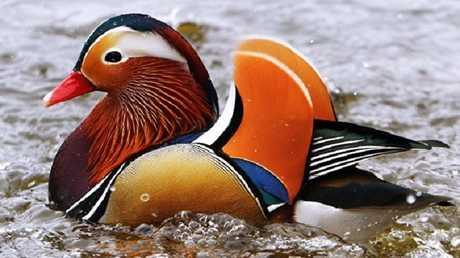 البط ناقل جديد لإنفلونزا الطيور