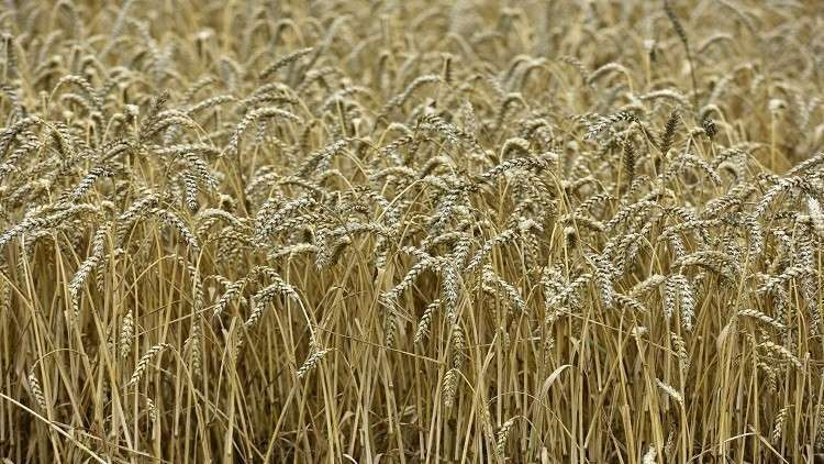 بلومبرغ: غزو القمح الروسي الجزائر كارثة لفرنسا