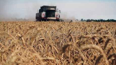حصاد القمح في روسيا