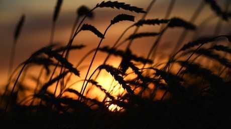 روسيا تتوقع هذا العام محصولا وفيرا من الحبوب
