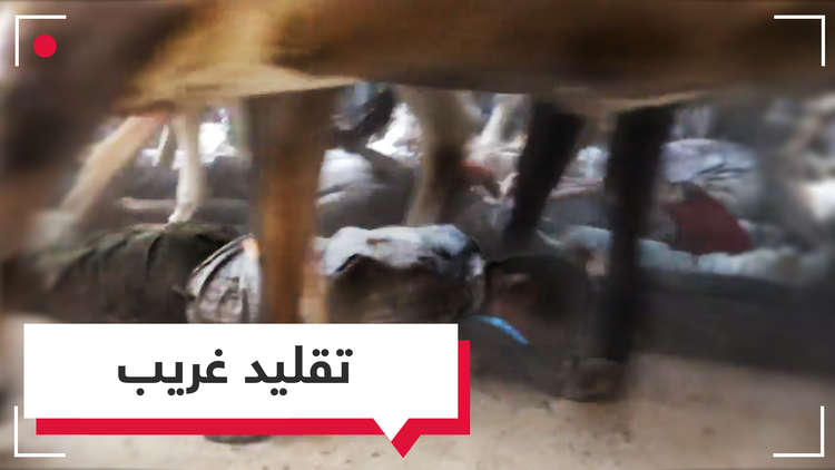 الأبقار والثيران تمر فوق الأجساد من أجل البركة والحظ بالهند (فيديو)