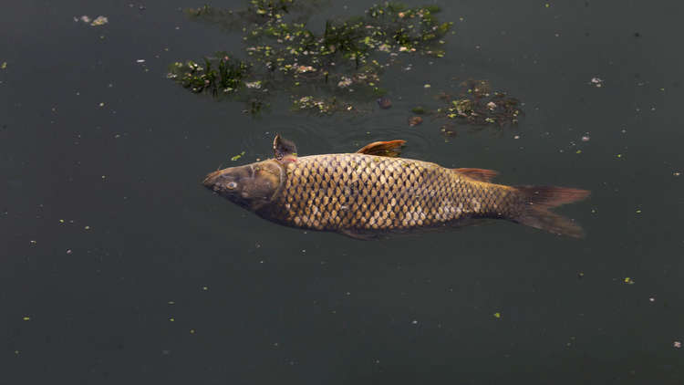 رصد أسماك نافقة في نهر بذي قار العراقية