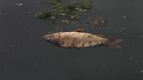 سمك نافق في مياه نهر الفرات بقضاء المسيب في محافظة بابل العراقية