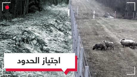 بالفيديو.. حيوانات تعبر الحدود بطريقة