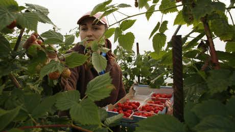 عاملة في حقول الفراولة بإسبانيا - أرشيف