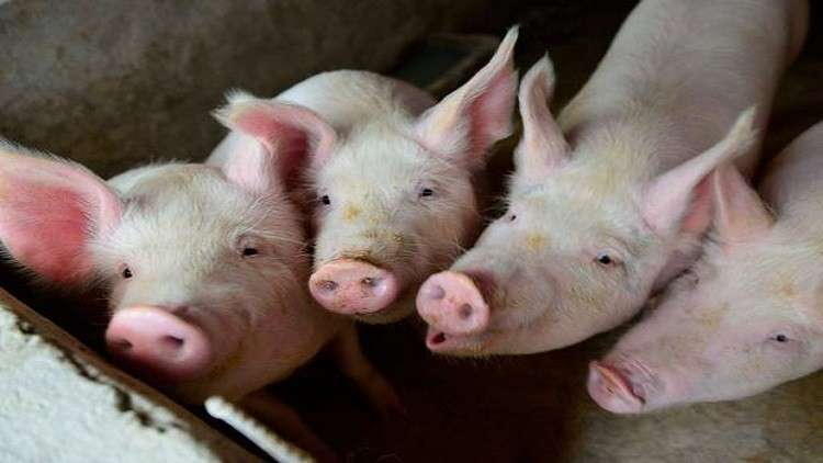 اختراق طبي .. قلوب الخنازير قد تنقذ حياة البشر قريبا!