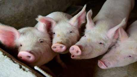 تجارب ناجحة على القردة قد تسمح بزراعة قلب الخنزير في البشر لإنقاذ حياتهم!