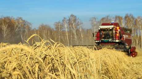 القمح الروسي