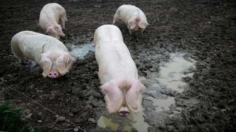 الصين تعلن عن تفش جديد لحمى الخنازير الإفريقية بإقليم قوانغ دونغ