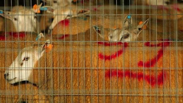 قانون منع الذبح الحلال يدخل حيز التنفيذ شمالي بلجيكا