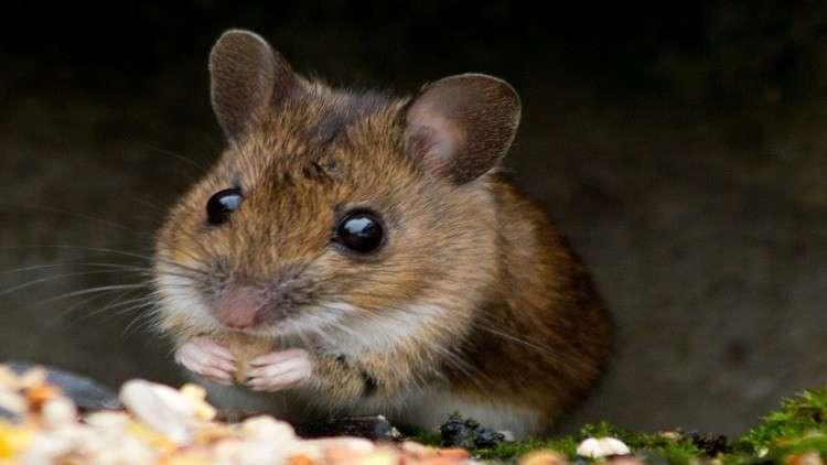 فئران