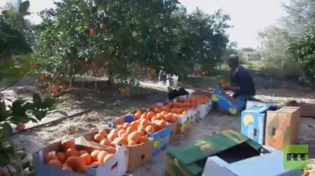 معاناة مزارعي غزة مع تردي وضع الاقتصاد
