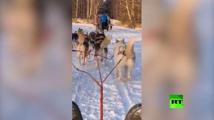 كلاب الهاسكي تجر العربات متحدية صقيع سيبيريا