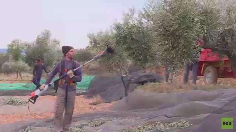 مشروع تبني شجرة زيتون ينقذ قرية اسبانية