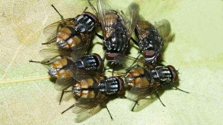 علماء يحذرون من أوبئة ينشرها الذباب
