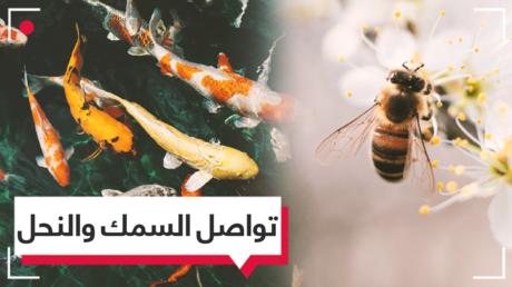 النحل يتواصل مع الأسماك في تجربة علمية للمرة الأولى