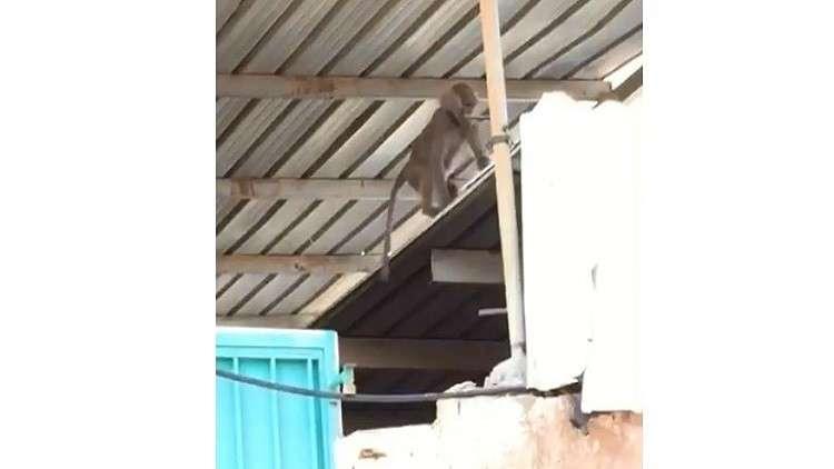 قردة تهاجم مدرسة للبنات في جدة