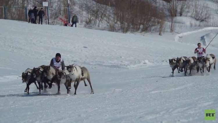 شاهد.. سباق الأيائل في الشمال الروسي