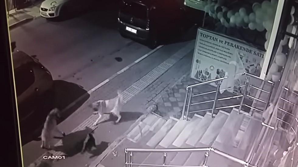 في تركيا.. قط ينتصر على 6 كلاب