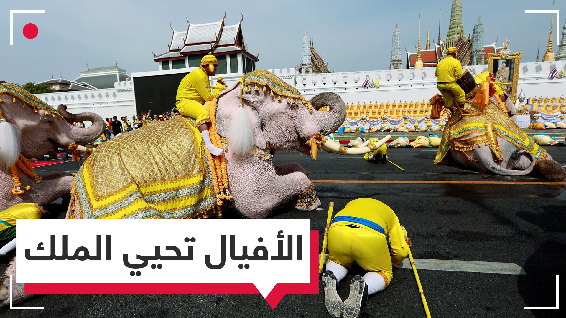 جثت أمام صورته.. أفيال في مسيرة مذهلة تحية لملك تايلاند الجديد