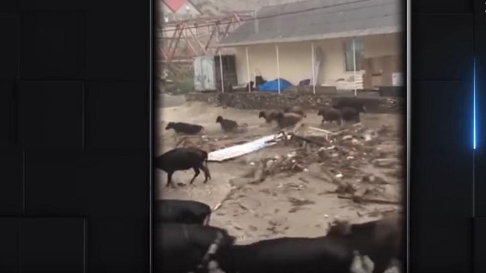 شاهد.. السيول تجرف سيارات وأبقارا في داغستان