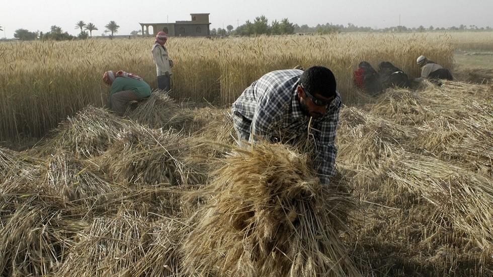 مزارعون يجمعون محصول الحنطة غربي العراق