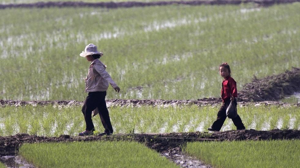 مزارع الأرز في كوريا الشمالية