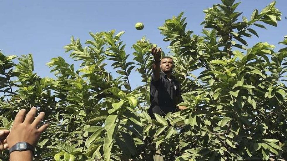 الاتحاد الأوروبي يوافق على عدم فرض فحوصات إضافية على الجوافة المصرية