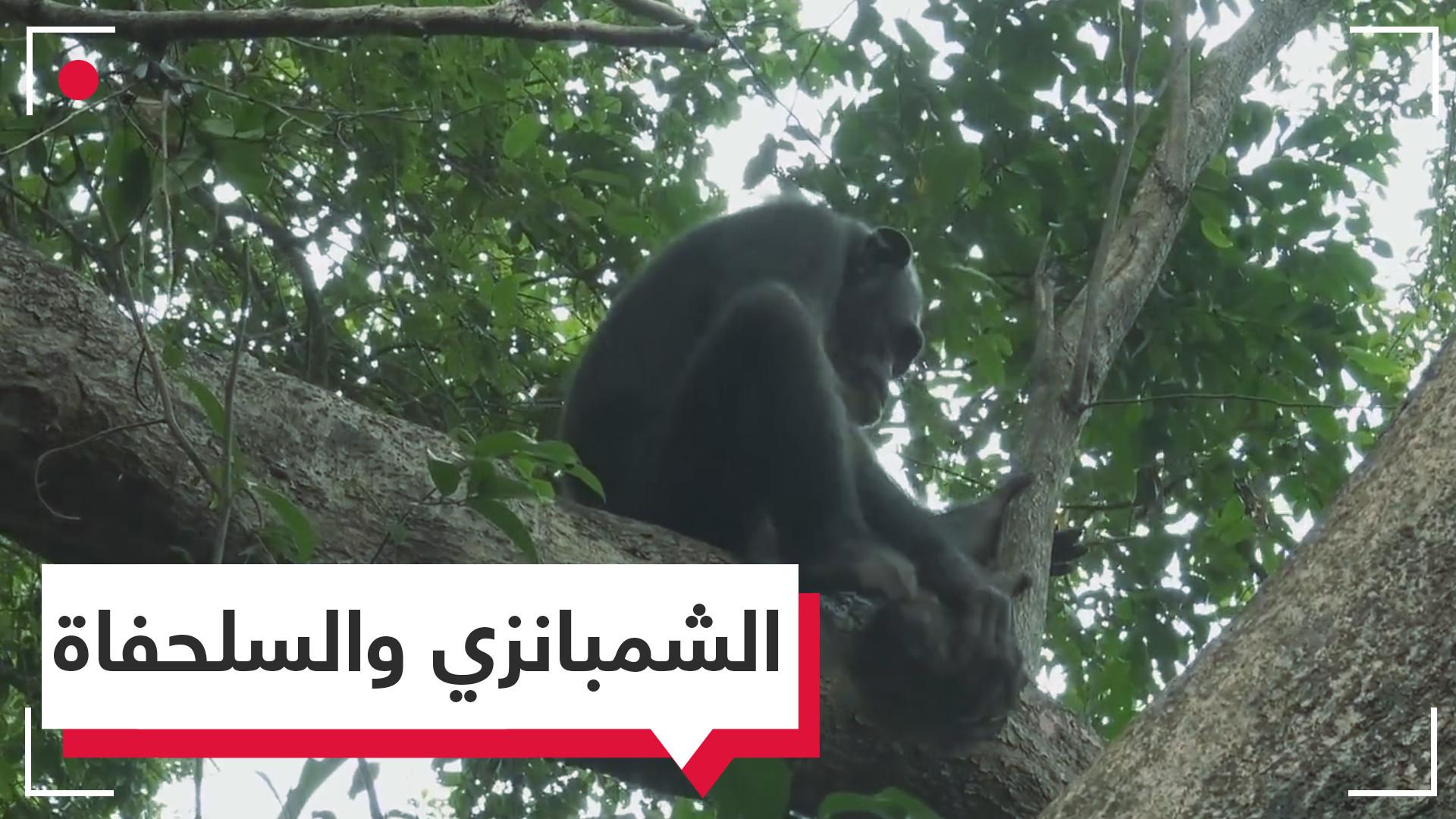 قرد شمبانزي يأكل سلحفاة