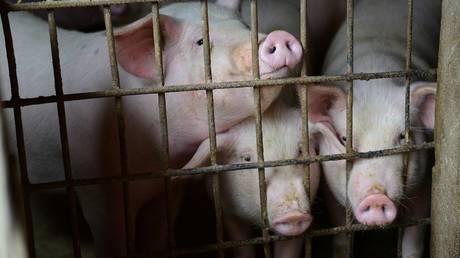 Vietnam destroys two million pigs!