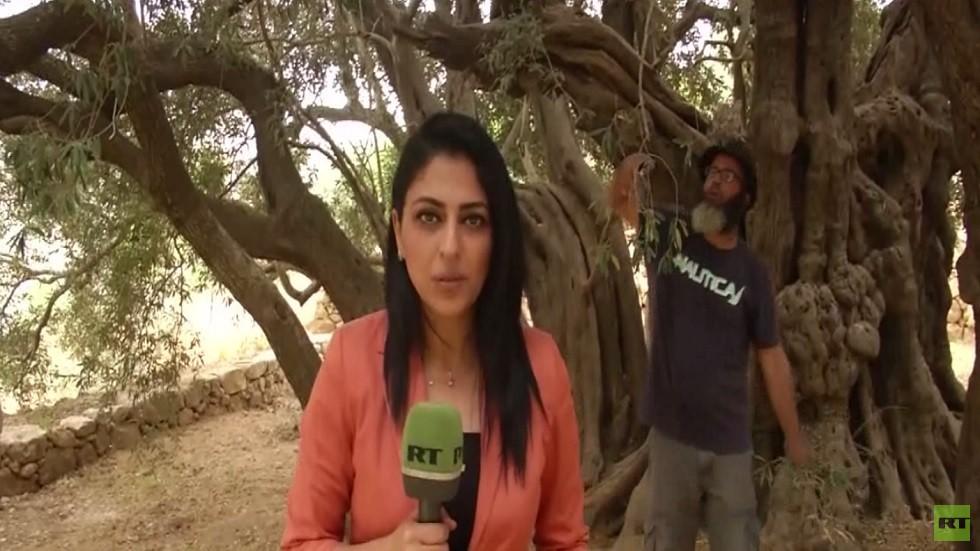 شجرة الزيتون الأقدم بالعالم.. في الضفة
