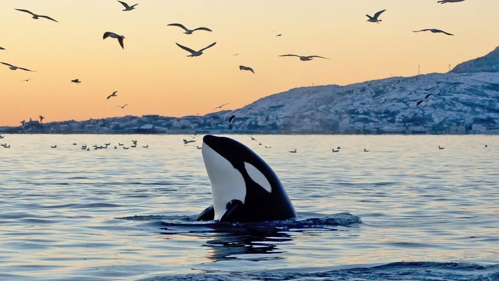 ظهور نادر لحوت يطلق حبرا أحمر مصنوعا من البراز (صور)