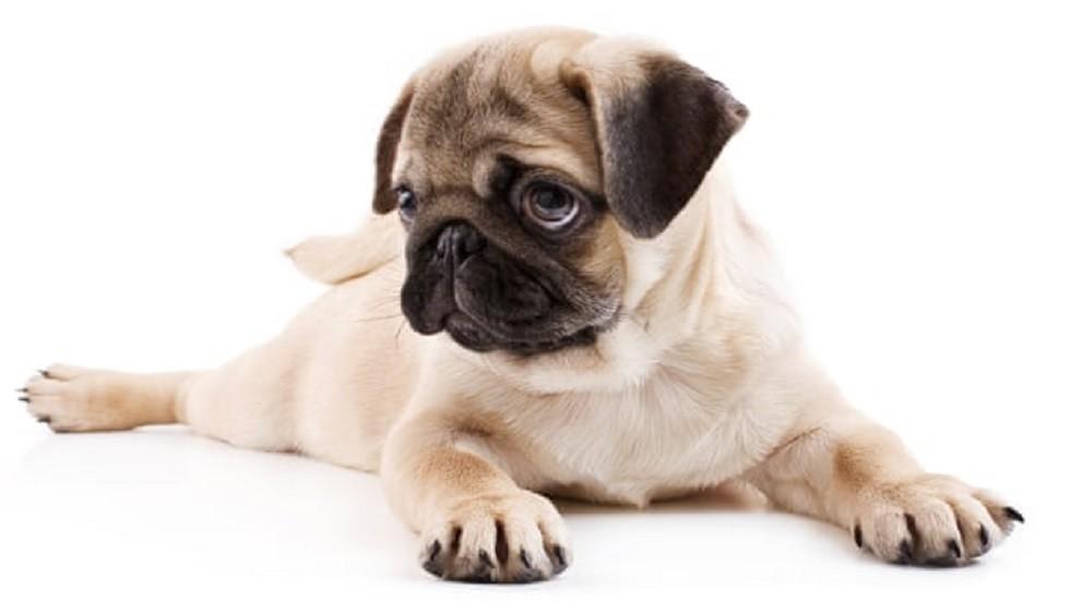 لماذا طورت الكلاب