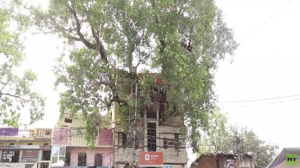 شجرة تين عملاقة تتوسط مبنى في الهند