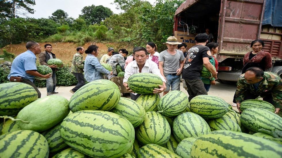 محصول وفير من البطيخ - أرشيف