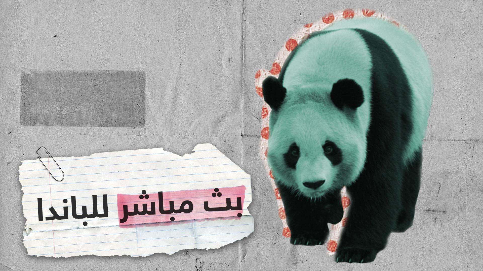 حياة الباندا في بث مباشر من حديقة الحيوانات بموسكو
