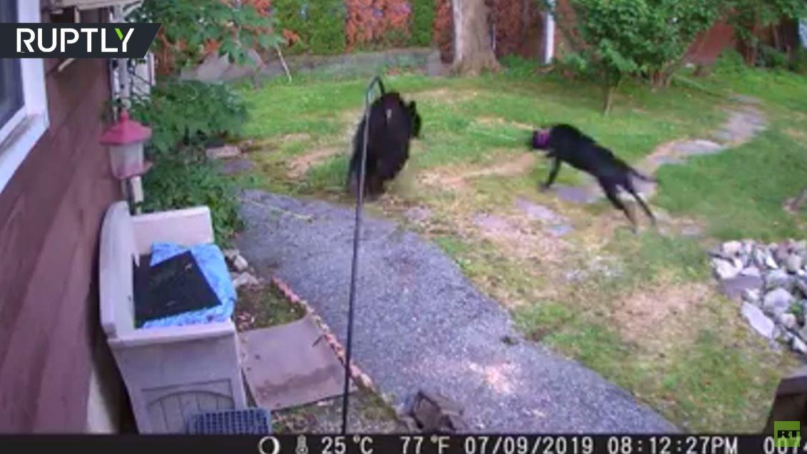 شاهد.. كلب يطارد دبا دخل فناء بيت ريفي في نيوجيرسي