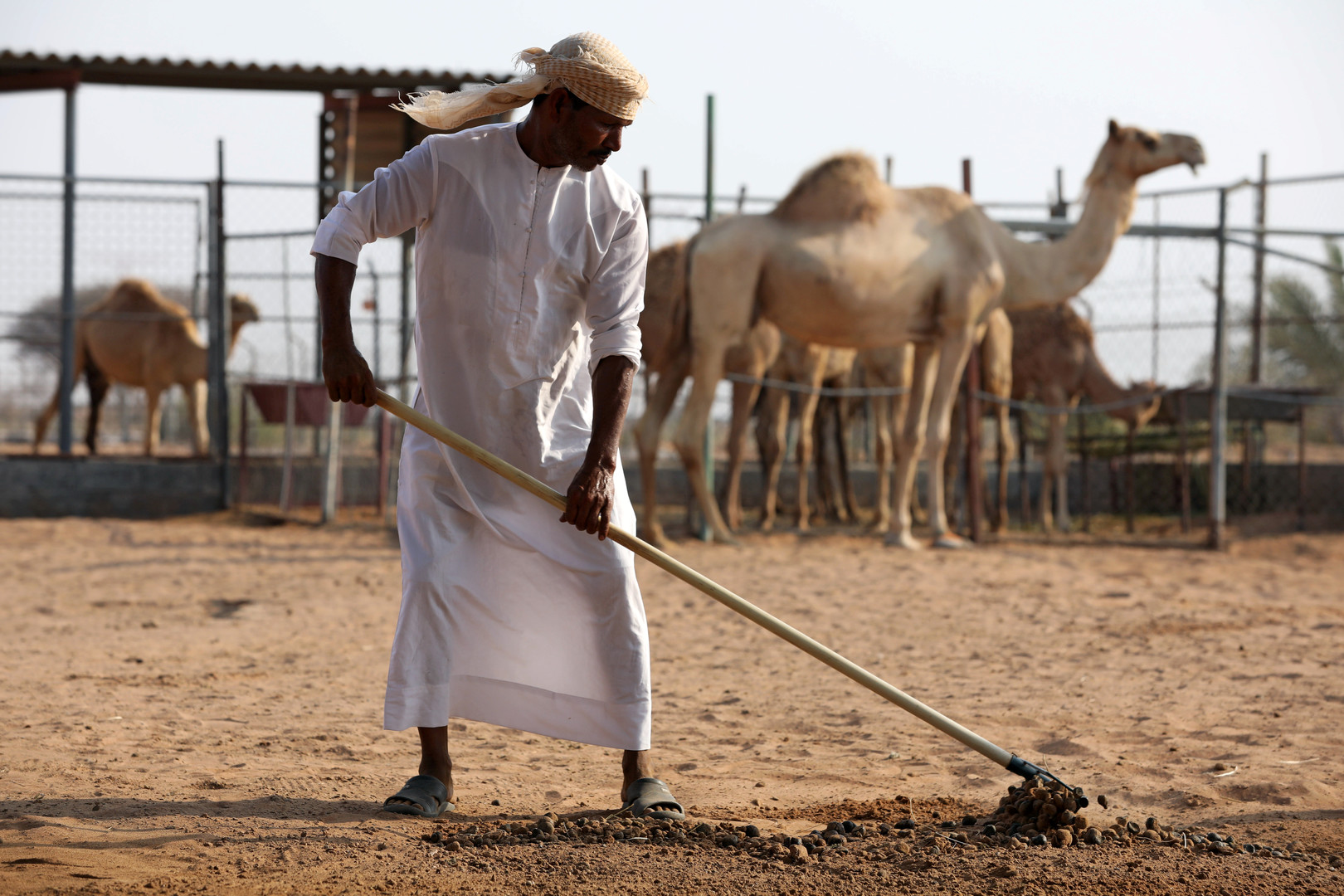 الإمارات.. استخدام روث الإبل كوقود لإنتاج الإسمنت -