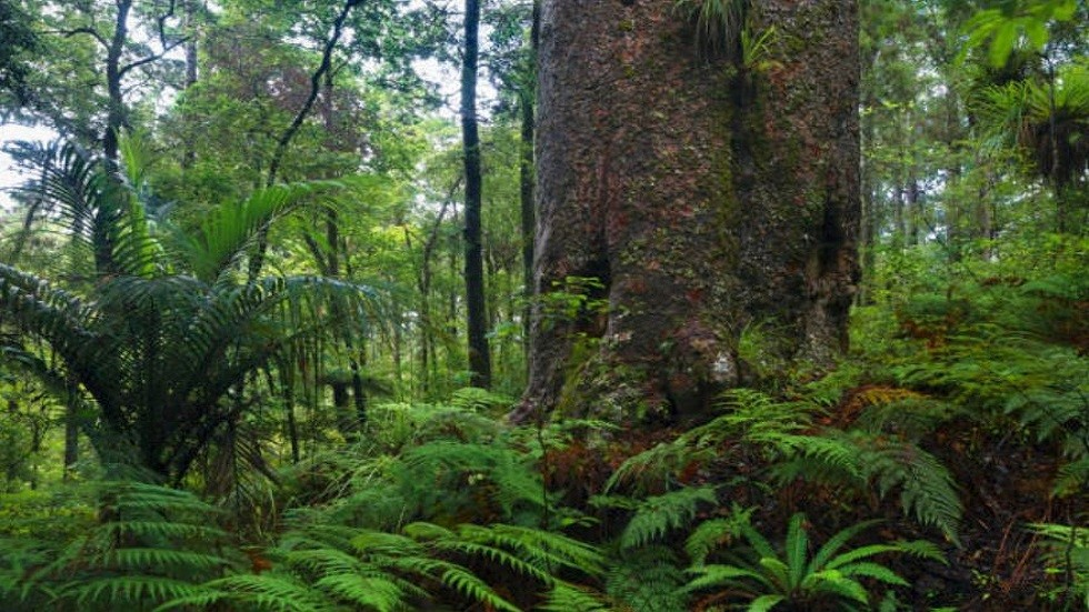 شجرة kauri