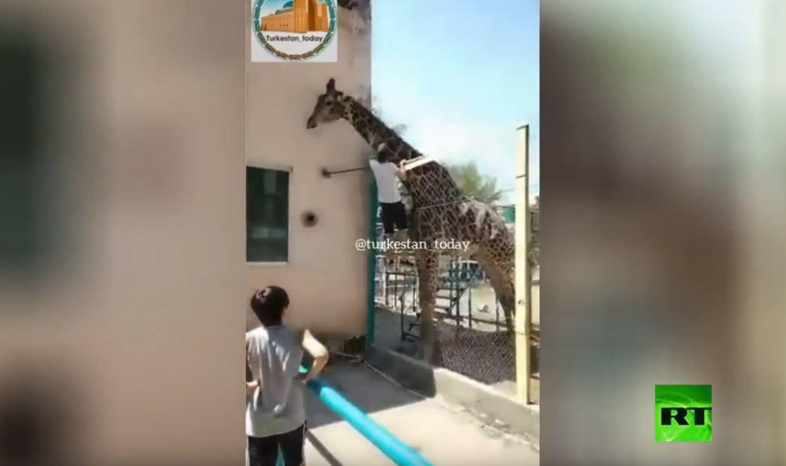 شاهد.. رجل مخمور مصرٌ على ركوب زرافة في حديقة حيوانات بكازاخستان