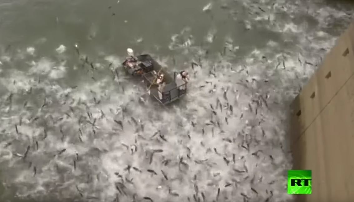 شاهد: مئات أسماك الكارب تقفز في الهواء بسبب صدمة كهربائية