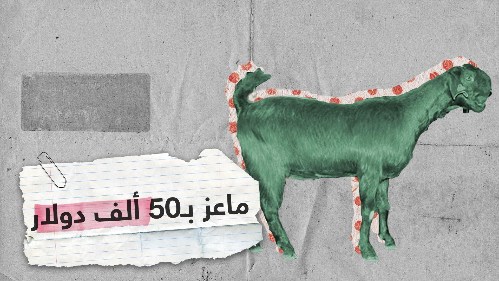 فلسطين.. ذكر ماعز  بـ50 ألف دولار