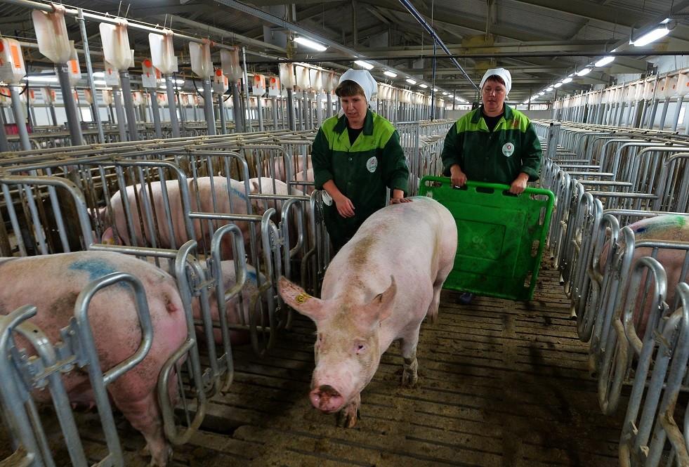 ماس كهربائي يقتل ألف خنزير في مزرعة روسية